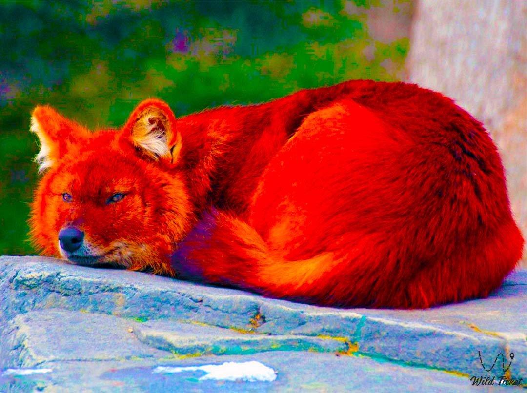Red Wolf in Charyn park, Almaty region