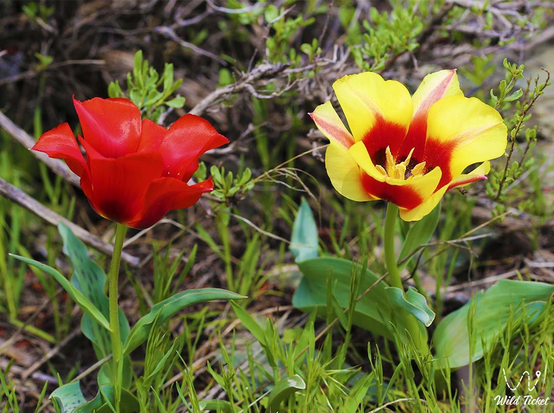 Tulips of the Aksu-Zhabagly reserve.
